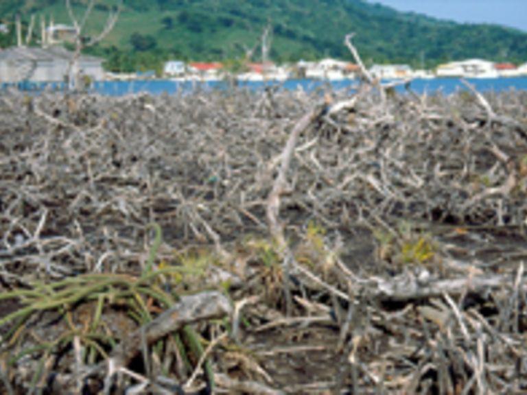 Regeneration der Mangroven auf der Insel Guanaja (Honduras) sieben Jahre nach Hurricane Mitch